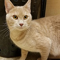 Domestic Shorthair Cat for adoption in Oklahoma City, Oklahoma - Hefner