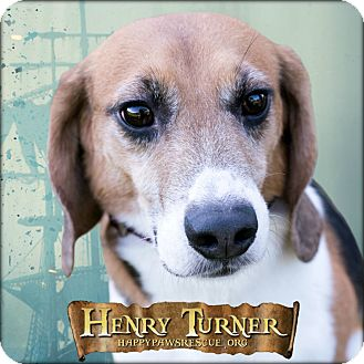 Beagle Dog for adoption in South Plainfield, New Jersey - Henry Turner