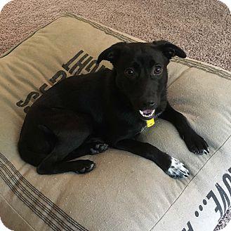 Labrador Retriever Mix Dog for adoption in Minneapolis, Minnesota - Lilah