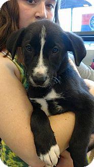 Labrador Retriever Mix Puppy for adoption in Palatine/Kildeer/Buffalo Grove, Illinois - Mary