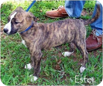 Bull Terrier/Boxer Mix Puppy for adoption in Tahlequah, Oklahoma - Esther