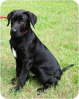 Labrador Retriever/Hound (Unknown Type) Mix Puppy for adoption in Peachtree City, Georgia - Twilight Star