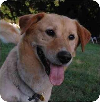 Labrador Retriever/Shepherd (Unknown Type) Mix Dog for adoption in Zanesville, Ohio - Jacei - ADOPTED!