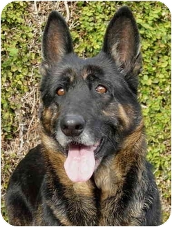 German Shepherd Dog Dog for adoption in Los Angeles, California - Bonita von Kern