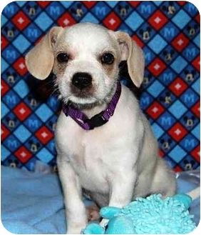 Spaniel (Unknown Type)/Terrier (Unknown Type, Small) Mix Puppy for adoption in Broomfield, Colorado - Piglet