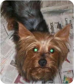 Yorkie, Yorkshire Terrier Mix Dog for adoption in Richmond, Virginia - Maxwell
