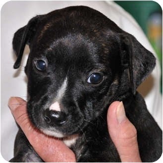 Jack Russell Terrier Mix Puppy for adoption in Broadway, New Jersey - Sherman