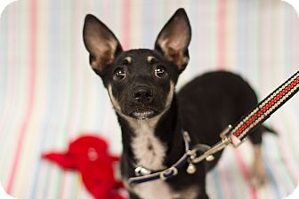 Dachshund/Chihuahua Mix Puppy for adoption in Culver City, California - Moxie