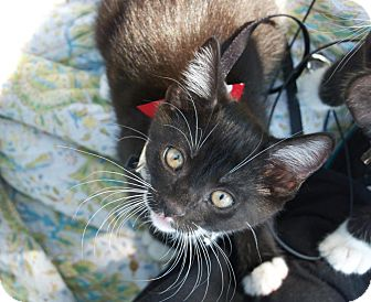 Domestic Shorthair Kitten for adoption in Santa Monica, California - Bellissima