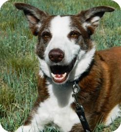 Border Collie Mix Dog for adoption in Cheyenne, Wyoming - Red