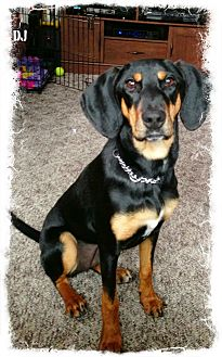 Black and Tan Coonhound Mix Dog for adoption in Albany, New York - DJ