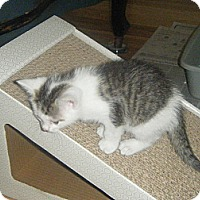 Adopt A Pet :: Lolita - Whitestone, NY