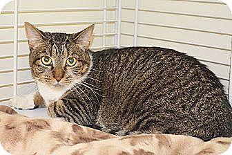 Domestic Shorthair Cat for adoption in Lincoln, Nebraska - Abby