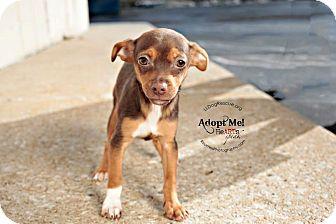 Chihuahua/Dachshund Mix Puppy for adoption in Shawnee Mission, Kansas - Heineken