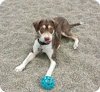 Beagle/Australian Shepherd Mix Dog for adoption in Anoka, Minnesota - Rose