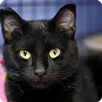 Adopt A Pet :: Scarlet Jo - Chicago, IL