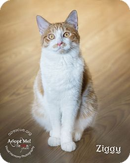 Domestic Shorthair Cat for adoption in Phoenix, Arizona - Ziggy