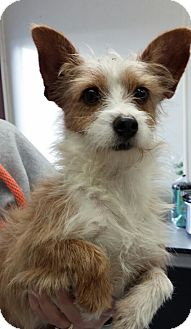Terrier (Unknown Type, Small) Mix Dog for adoption in Mooresville, Indiana - batman