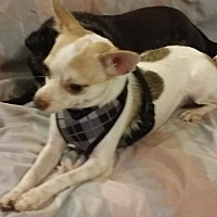Chihuahua Dog for adoption in Fort Worth, Texas - Timmy