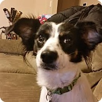 Adopt A Pet :: Eevie - San Antonio, TX