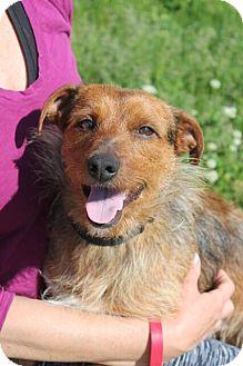Dachshund/Yorkie, Yorkshire Terrier Mix Dog for adoption in Mt. Prospect, Illinois - Leon