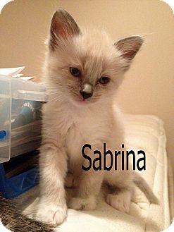 Siamese Kitten for adoption in Wichita Falls, Texas - Sabrina