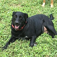 Labrador Retriever/Australian Cattle Dog Mix Dog for adoption in Olympia, Washington - Nalia