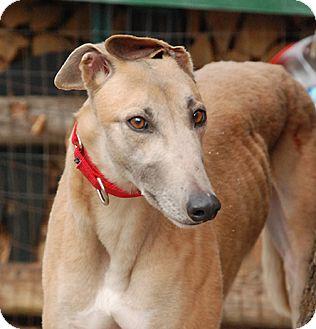 Greyhound Dog for adoption in Ware, Massachusetts - Caramel