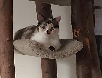 Calico Cat for adoption in Pinckney, Michigan - Mariam