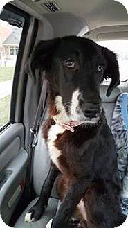 Great Dane/Border Collie Mix Dog for adoption in Sugar Grove, Illinois - Harley