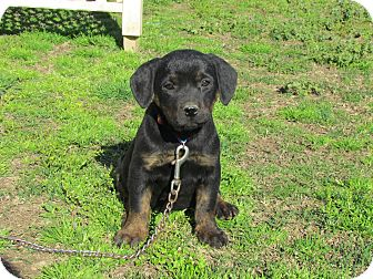 Labrador Retriever/Dachshund Mix Puppy for adoption in Bedminster, New Jersey - FLORIE