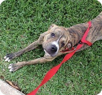 Boxer/Shar Pei Mix Dog for adoption in Garland, Texas - Tiger