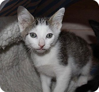 Domestic Shorthair Kitten for adoption in Tampa, Florida - Pongo