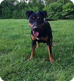 Doberman Pinscher/Cattle Dog Mix Dog for adoption in Washington, D.C. - Tasha