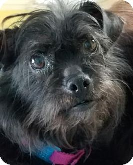 Brussels Griffon Mix Dog for adoption in Philadelphia, Pennsylvania - Sora