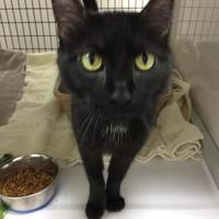 Adopt A Pet :: Sami - Decatur, IL