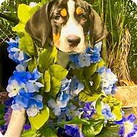 Adopt A Pet :: Walton - West Palm Beach, FL