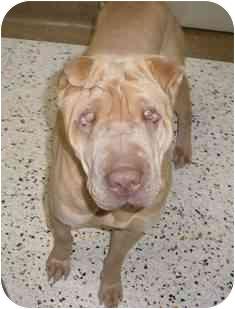 Shar Pei Dog for adoption in Houston, Texas - Tupac