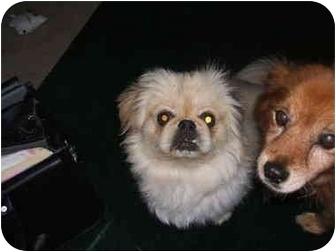 Pekingese Dog for adoption in SCOTTSDALE, Arizona - MAX