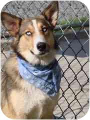 Collie/Husky Mix Dog for adoption in Baltimore, Maryland - Serafina