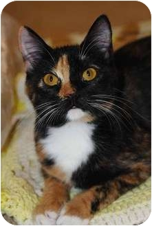 Calico Cat for adoption in New Port Richey, Florida - Anneliese