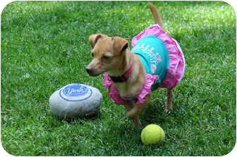 Chihuahua/Bichon Frise Mix Puppy for adoption in Kokomo, Indiana - Emmalee a Chi-Chon!
