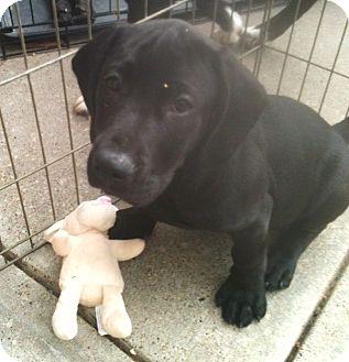 Labrador Retriever Mix Puppy for adoption in Newburgh, Indiana - Caleb