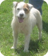 Jack Russell Terrier Dog for adoption in Newberry, South Carolina - Zack