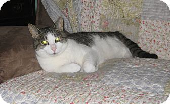 Domestic Shorthair Cat for adoption in Farmingdale, New York - Heather