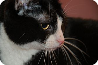 Domestic Shorthair Cat for adoption in Flower Mound, Texas - Luna Lady