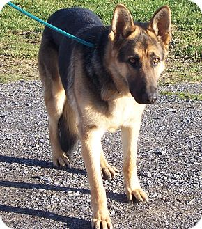 German Shepherd Dog Dog for adoption in Tully, New York - TEVOR
