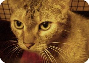 Domestic Shorthair Cat for adoption in Acushnet, Massachusetts - Puppy