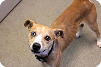 Whippet/Terrier (Unknown Type, Medium) Mix Dog for adoption in Columbus, Georgia - Devo 1246