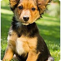 Adopt A Pet :: Marshal - Phoenix, AZ